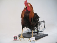 realistic, life-sized, rooster movie prop