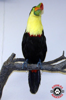 Toucan mounted onto a tree branch.  This figure can be mounted on just about anything.