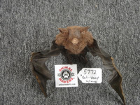 Vampire Bat folded wings posable