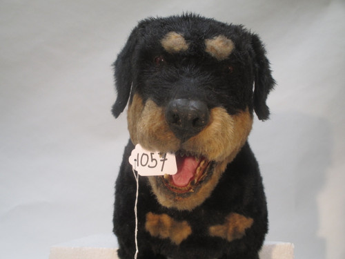 Animated Dog Attack Movie Prop Rottweiler Realistic photographed in 2014.