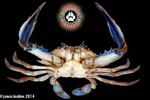 realistic blue crab replica for still photography