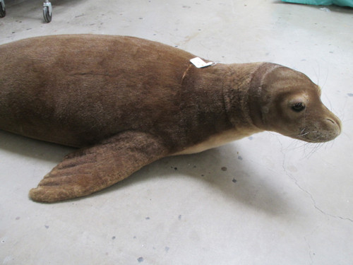 Hawaiian Monk Seal Replica