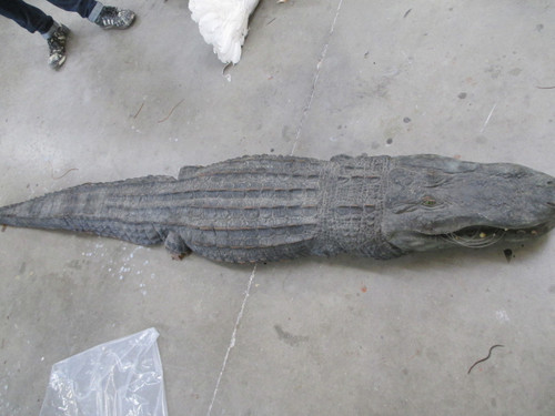 "This item is the top of the back and the mouth of an alligator. When a gator is in the water, you can only see the upper half of the body and you can see the open mouth. Used to put into ponds (especially shallow ones) or even pools. Created in strong foamed Urethane. Approximately 9'0"" long and one foot wide. When in the water, these are striking! Alligator Mississippians  Actual Film Props (Ace Ventura 2 ""When Nature Calls"")"