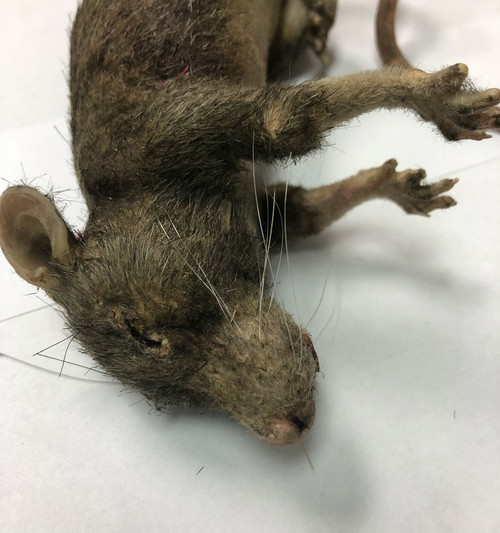 Dead Rat Movie Prop