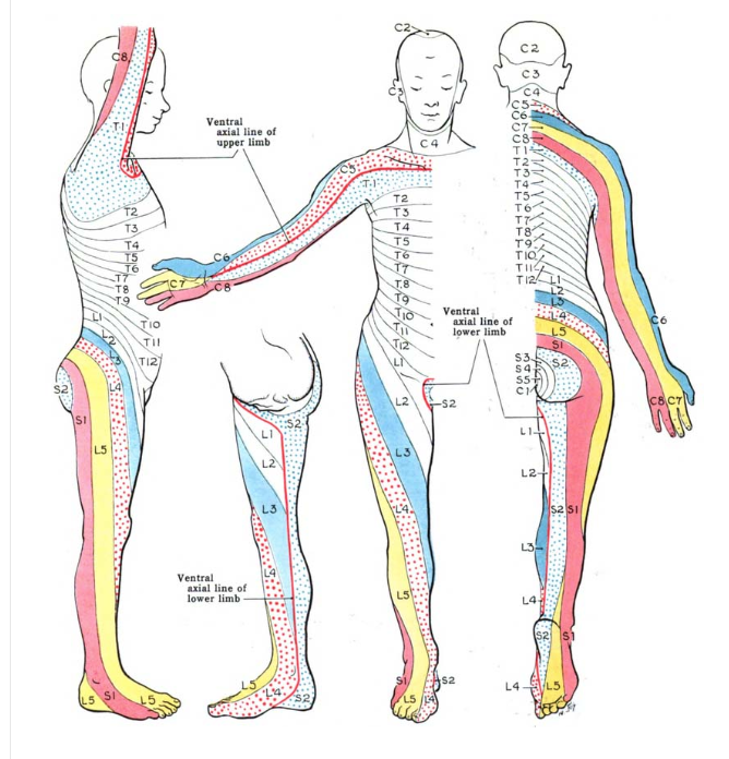 Dermatomes are the sensory areas of the skin that are innervated by the spinal nerve segments. Viruses may lay dormant within spinal nerves.