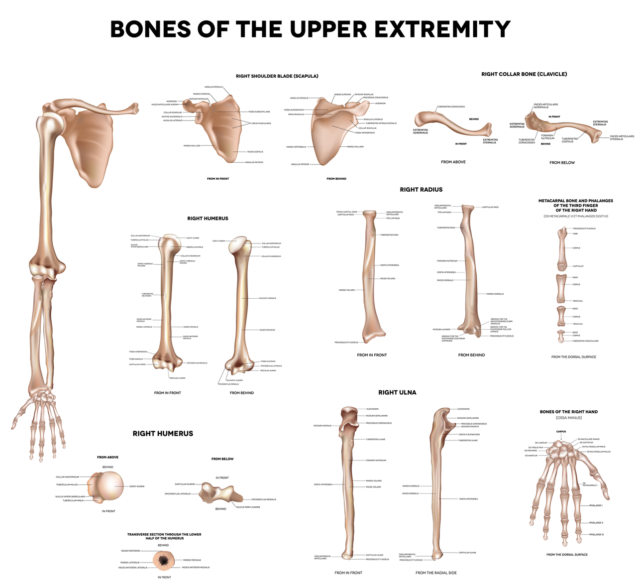 Bone Anatomy & Bone Solutions!
