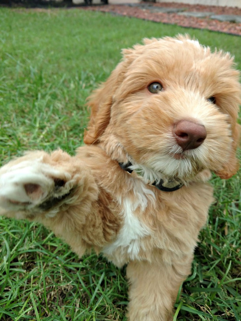 Puppy waving
