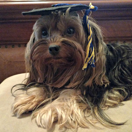 Yorkie in a graduation cap