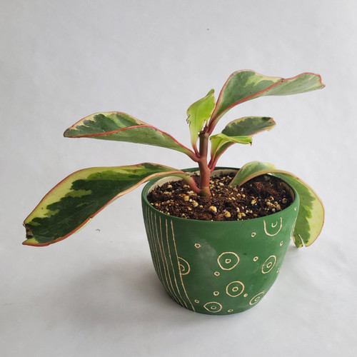 "4"" Green Planter with Peperomia Ginny"