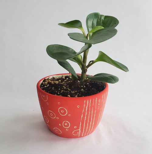 "4"" Planter with Peperomia Obtusifolia"