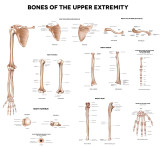 Bone Anatomy & Bone Solutions!