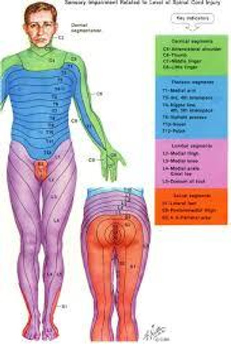 Dermatomes of the body.
