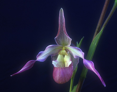 """Being in Time - Phragmipedium Ainsworthii Get the body into 3-D time. Very important to enable therapists to bring the client into contact with and stay in the lower half of the body. Helps those who are reluctant to incarnate fully into """"the here and now"""". It does so by harmonising the body's etheric cycles with those same cycles in Nature. This is a calibration to a flow which helps one to manage one's time better, especially when there is the sense of having too much to do and too little time to do it in. GREAT FOR JET LAG. The body can immediately harmonise and integrate with the time-zone of the local area no matter what the distance nor direction of travel."""