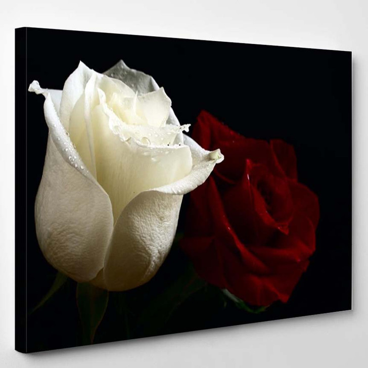 Red And White Roses With Water Drop On Black Background - Nature Canvas Art Print