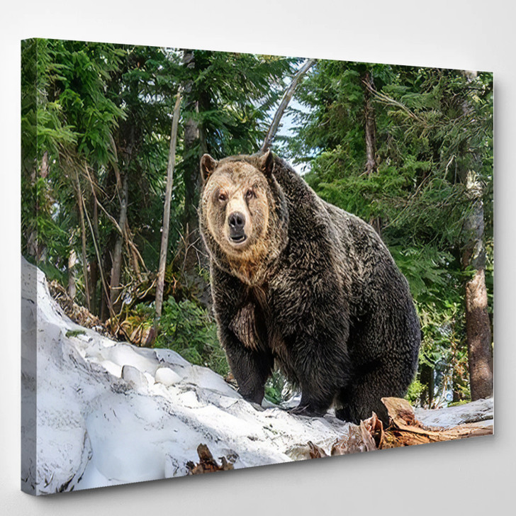 Bear On Snow Picture Fantastic Equilibrate - Bear Animals Canvas Art Print