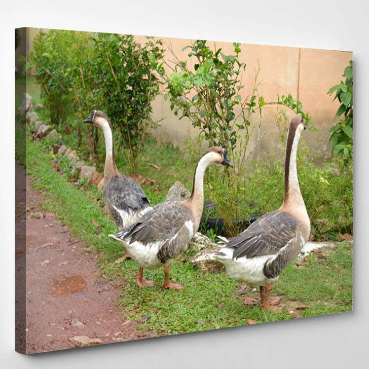 3 Goose Out Side Their Cage - Canvas Art Print