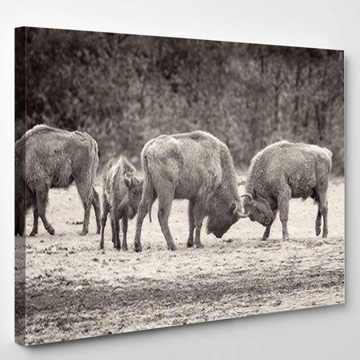 Two Bisons Fight On Spring Field - Bison Animals Canvas Art Print