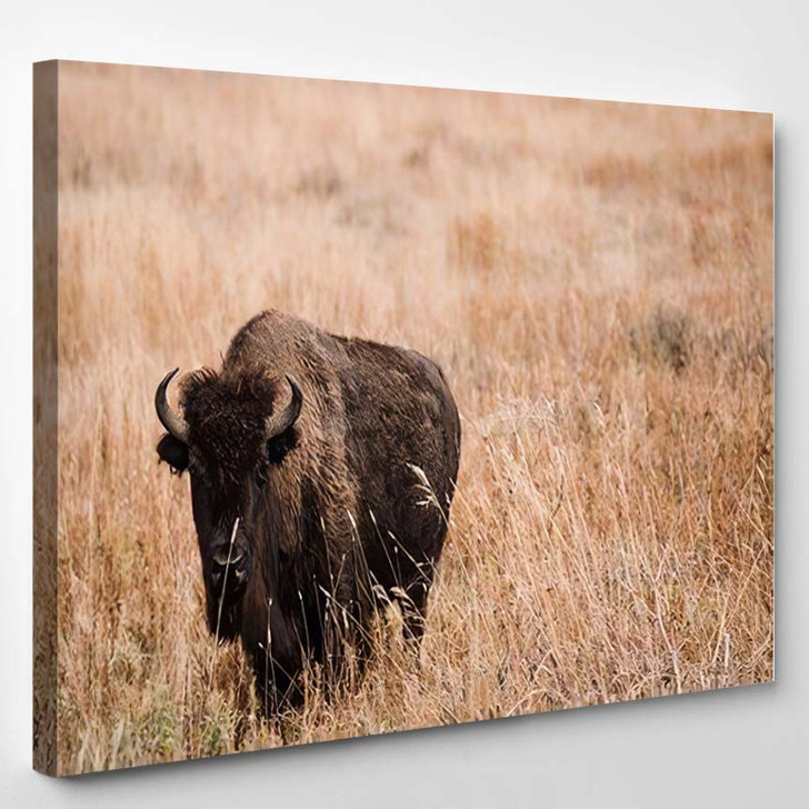Young Male Bison Stood Amongst Grass - Bison Animals Canvas Art Print