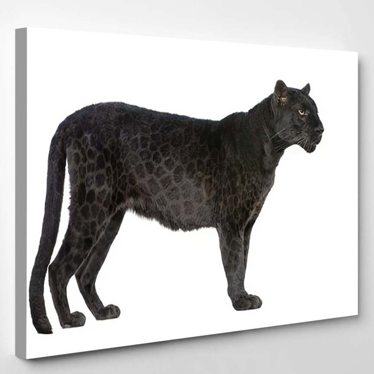 Black Leopard 6 Years Front White - Black Panther Animals Canvas Art Print