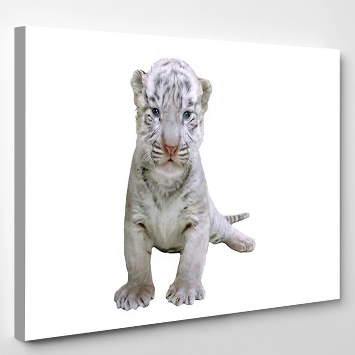 2 Week White Tiger - White Tiger Animals Canvas Art Print