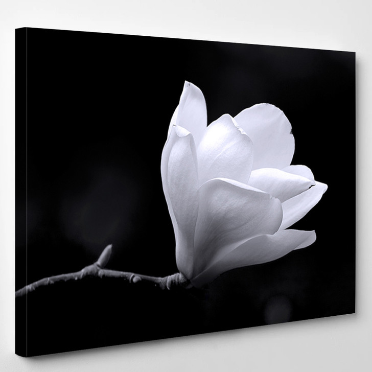A Black And White Fine Art Portrait Of The Flower From A Magnolia Tree - Nature Canvas Art Print