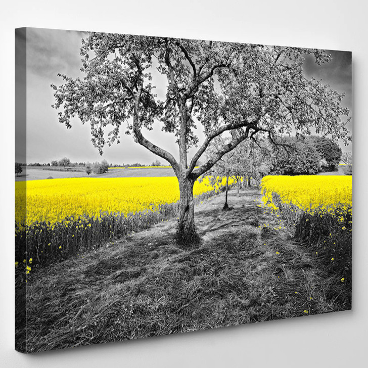 Shining Yellow Oilseed Rape Fields In A Black And White Landscape - Nature Canvas Art Print
