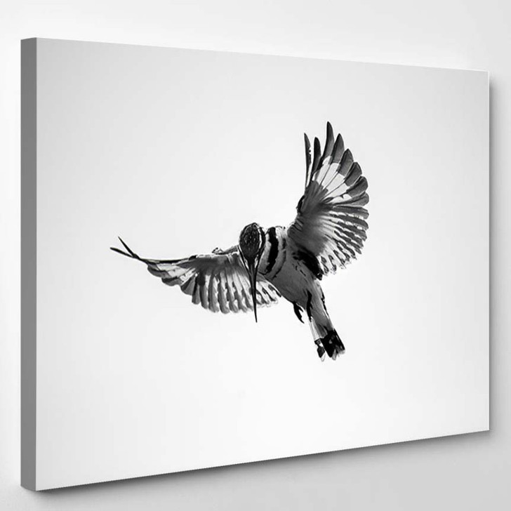 Close Black White Photograph Hovering Pied - Hunting and Fishing Canvas Art Print