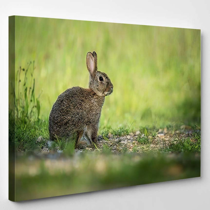 European Rabbit Oryctolagus Cuniculus Sitting Grass - Hunting and Fishing Canvas Art Print