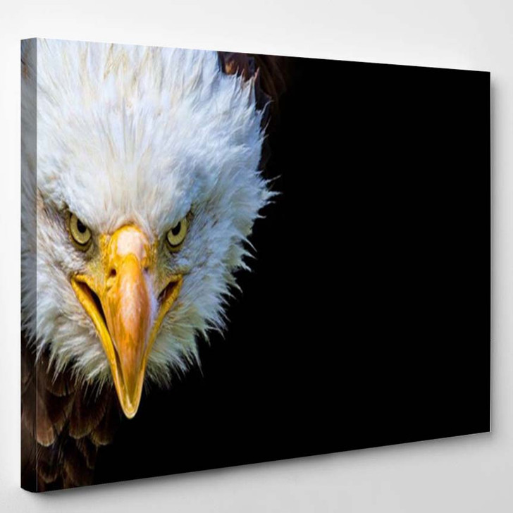 Angry North American Bald Eagle On Black Background - Animals Canvas Art Print