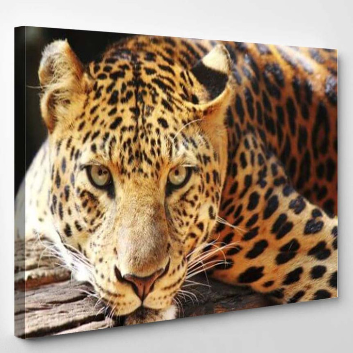 Leopard Panther Resting Relax On Tree - Animals Canvas Art Print