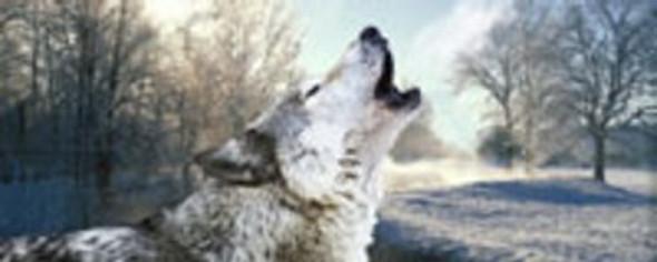 Winters Wolf