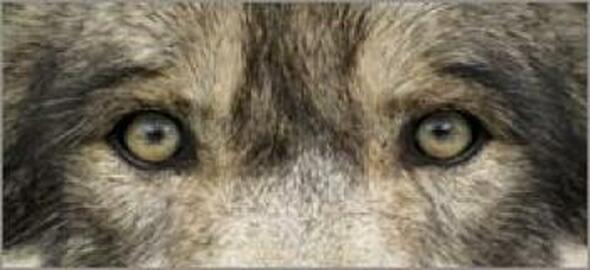 Wolf Eyes 2