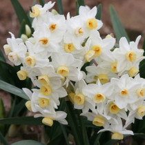 Clusters of 8-12 blooms on each stalk make for a very showy bloom, accented by a light, sweet fragrance. Zones 7-10