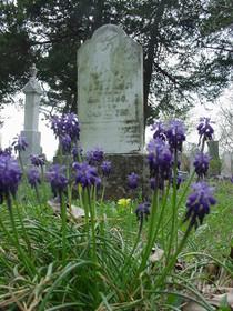 "Muscari neglectum ""Grape Hyacinth"" SPECIAL--20 for $10!"