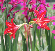 Featured here is a hardy amaryllis blooming on the Southern Bulb farm in April.