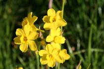 "Narcissus x jonquilla ""Jonquil"""