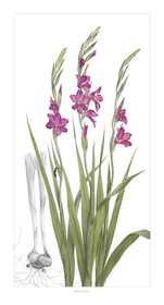 """Gladiolus byzantinus"" is slender, elegant, and awe inspiring.  The classic gray background line drawing of the corm structure relates the viewer back to the first specimens collected along the southern coasts of Spain."