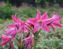 (Pack of 1) Deep Rose Colored Crinum.