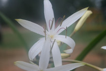 (Pack of 1) White Spider-like Blooming Crinum.
