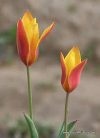 (Pack of 10) 'Chrysantha' tulip opens with a peach colored outer petal and beautifully unfurls into a curved star shaped rich yellow colored bloom. Zones 6-8