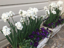 Paperwhites For Forcing Inbal® Narcissus