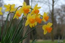 Narcissus 'Fortune'