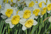 (Pack of 5) Beautiful white petals with large yellow cups. Zones 4-8