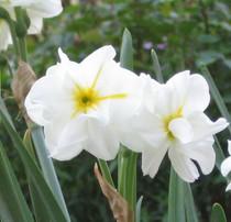 Narcissus 'Sir Winston Churchill'