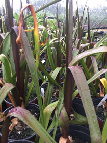 Crinum 'Sangria' is valued for its colored foliage and relative cold tolerance.  The gorgeous dark leaved hybrid is much more winter hardy than other purple crinums. Showcasing dramatic glossy foliage that varies from purple to bronze coloring, the leaves can grow to 2 ft long,