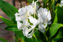 White Ginger Lily - 3 tubers