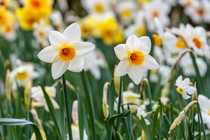 Narcissus 'Barret Browning'