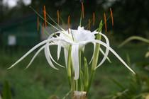 Hymenocallis acutifolia (1 large bulb)