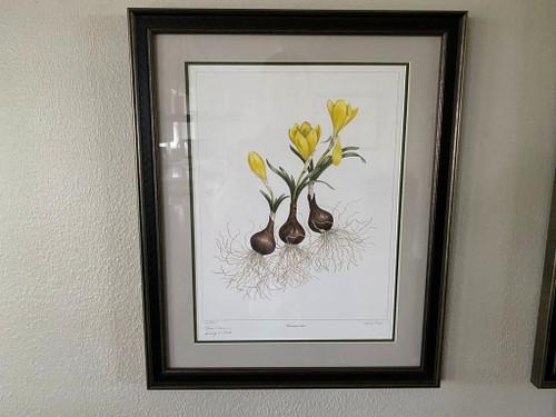 Sternbergia lutea Art