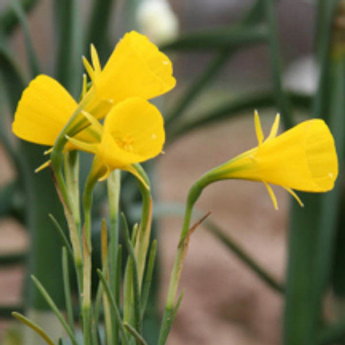 """A precious and rare, but very tough Southern bulb, standing only 4""""-8"""" high with distinctive bright yellow blooms. Zones 6-8"""